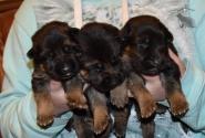 03_Puppies_Bacho_Verso