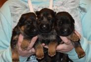 04_Puppies_Bacho_Verso