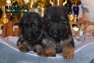 18_Puppies_Bacho_Verso_Boys_LH