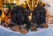 19_Puppies_Bacho_Verso_Boys_LH