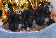 21_Puppies_Bacho_Verso_Boys