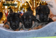 23_Puppies_Bacho_Verso_Boys