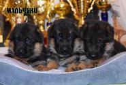 24_Puppies_Bacho_Verso_Boys