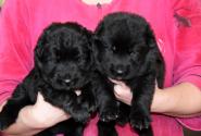 14_Puppies_Uragan_Furiya_Boys