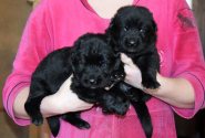 16_Puppies_Uragan_Furiya_Boys
