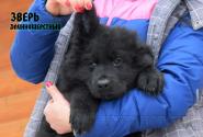 29_Puppies_Uragan_Furiya_ZVER_LH