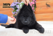 30_Puppies_Uragan_Furiya_ZVER_LH