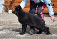 34_Puppies_Uragan_Furiya_ZENA