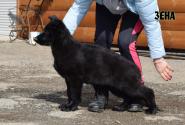 35_Puppies_Uragan_Furiya_ZENA