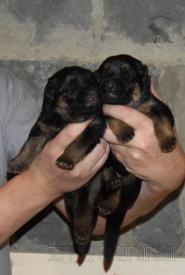 01_Puppies_Yam_Udachnaya
