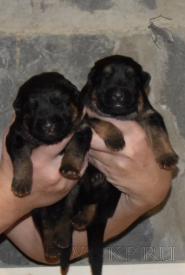 02_Puppies_Yam_Udachnaya