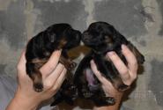 03_Puppies_Yam_Udachnaya