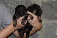 04_Puppies_Yam_Udachnaya