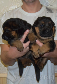 06_Puppies_Yam_Udachnaya
