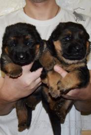 07_Puppies_Yam_Udachnaya