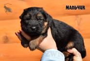 08_Puppies_Garry_Cikuta_Boy