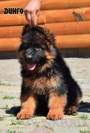 15_Puppies_Garry_Cikuta_DINGO