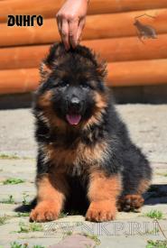 17_Puppies_Garry_Cikuta_DINGO