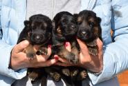 02_Puppies_Bacho_Anka