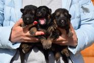 03_Puppies_Bacho_Anka