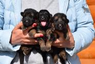 04_Puppies_Bacho_Anka