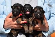 05_Puppies_Bacho_Anka