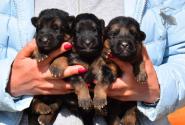 06_Puppies_Bacho_Anka