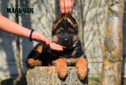 16_Puppies_Bacho_Anka_Boy