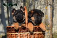 18_Puppies_Bacho_Anka_Boys