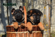 18_Puppies_Bacho_Anka_Boys