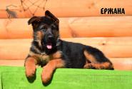 19_Puppies_Bacho_Anka_ERZHANA
