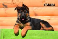 20_Puppies_Bacho_Anka_ERZHANA