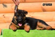 21_Puppies_Bacho_Anka_ERANIYA