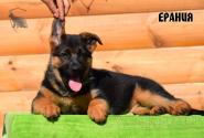 22_Puppies_Bacho_Anka_ERANIYA