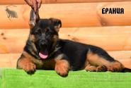 23_Puppies_Bacho_Anka_ERANIYA