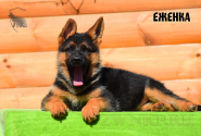25_Puppies_Bacho_Anka_EZHENKA