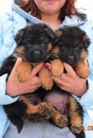 01_Puppies_Mike_Hloya