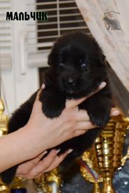 10_Puppies_Uragan_Valterra_Boy_Black