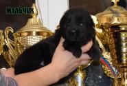 11_Puppies_Uragan_Valterra_Boy_Black