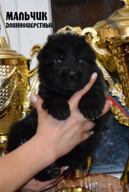 12_Puppies_Uragan_Valterra_Boy_Black_LH
