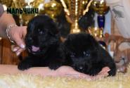 14_Puppies_Uragan_Valterra_Boys_Black