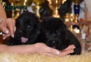 15_Puppies_Uragan_Valterra_Boys_Black