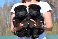 22_Puppies_Uragan_Valterra