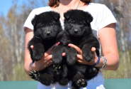 22_Puppies_Uragan_Valterra