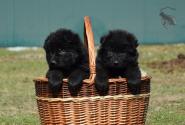 23_Puppies_Uragan_Valterra