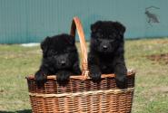 24_Puppies_Uragan_Valterra