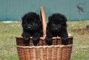 25_Puppies_Uragan_Valterra