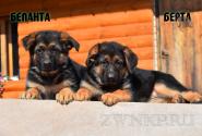 01_Puppies_JV_Yunke_BELANTA_BERTA