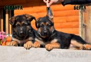 02_Puppies_JV_Yunke_BELANTA_BERTA