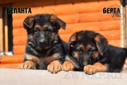 03_Puppies_JV_Yunke_BELANTA_BERTA